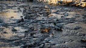 Mâle et canards femelles de Mallard dans le courant photos libres de droits