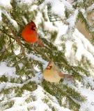 Mâle et cardinal féminin Images libres de droits