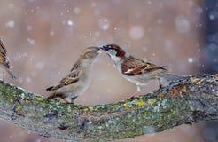 Mâle et danse femelle de moineaux de Chambre dans la tempête de neige photos stock