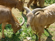 Mâle et femelles de chèvre de montagne Image libre de droits