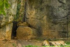 Mâle et lions africains femelles faisant une sieste - Panthera Lion photo libre de droits