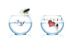 Mâle et poissons siamois femelles de combat Image libre de droits