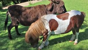 Mâle et poneys femelles dans la nature banque de vidéos