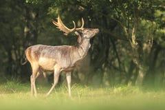 Mâle fier de cerfs communs affrichés, Dama de Dama, dans une forêt verte image libre de droits