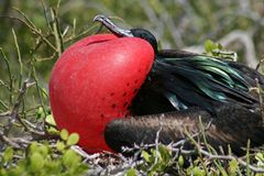 Mâle grand de frigatebird, Galapagos Photo libre de droits