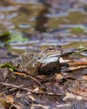 Mâle grenouille d'herbe ou de temporaria européenne de Rana dans des couleurs d'élevage au portrait en gros plan de l'eau, foyer  Photos libres de droits