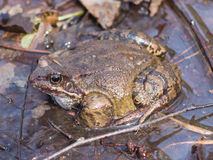 Mâle grenouille d'herbe ou de temporaria européenne de Rana dans des couleurs d'élevage au portrait en gros plan de l'eau, foyer  Photographie stock