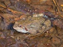 Mâle grenouille d'herbe ou de temporaria européenne de Rana dans des couleurs d'élevage au portrait en gros plan de l'eau, foyer  Image stock