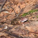 Mâle grenouille d'herbe ou de temporaria européenne de Rana dans des couleurs d'élevage sur le portrait en gros plan de vieilles  Photos libres de droits