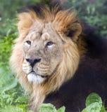 mâle indien de lion Photo libre de droits