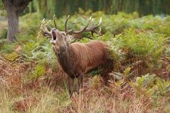 Mâle majestueux broyant les cerfs communs rouges sauvages Photo libre de droits