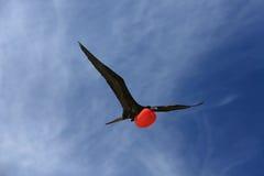 Mâle masculin d'oiseau de frégate de vol pendant la saison d'accouplement Photo stock