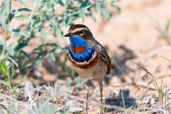 Mâle migrateur de svecica de Luscinia de gorge bleue Images libres de droits