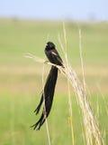 mâle noir d'oiseau le long a suivi la veuve Images stock