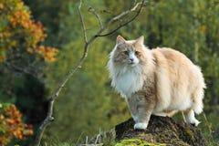 Mâle norvégien de chat de forêt Photos libres de droits