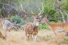 Mâle repéré de cerfs communs photo stock