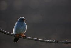 mâle Rouge-aux pieds de faucon Photos libres de droits