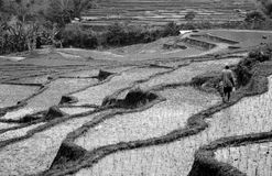 Mâle solitaire marchant les terrasses de riz, B/W Flores, Indonésie Photo stock