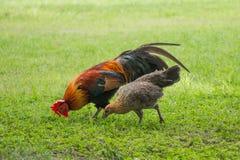 Mâle thaïlandais et poulets femelles photos libres de droits