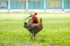 Mâle thaïlandais et poulets femelles photographie stock