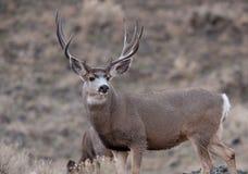 Mâle vigilant de cerfs communs de mule Photos libres de droits