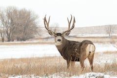 Mâle vigilant de cerfs communs de mule dans la neige photos libres de droits