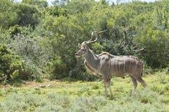 Mâle vigilant de kudu Photographie stock