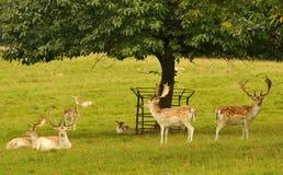 Mâles de cerfs communs affrichés (dama de Dama) Images libres de droits