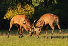 Mâles de cerfs communs dans le combat d'ornière Image libre de droits
