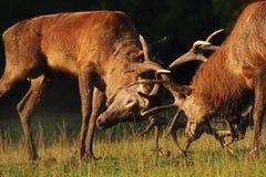 Mâles de cerfs communs dans le combat d'ornière Photo libre de droits
