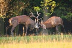 Mâles de cerfs communs dans le combat d'ornière Images stock