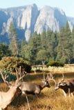 Mâles de cerfs communs de mule en vallée de Yosemite Image stock