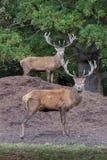Mâles de cerfs communs rouges Photo stock
