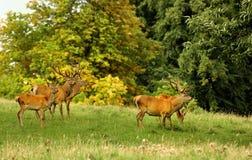 Mâles de cerfs communs rouges, (elephus de Cervus) Images libres de droits