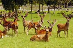 Mâles de cerfs communs rouges en velours Photos libres de droits