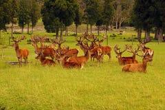Mâles de cerfs communs rouges en velours Photos stock