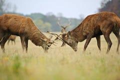 Mâles de cerfs communs rouges joutant avec des andouillers Image stock