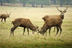 Mâles de cerfs communs rouges joutant avec des andouillers Photographie stock libre de droits