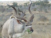 Mâles de Kudu Images stock