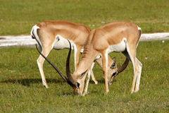 Mâles de la gazelle de Grant frôlant, Kenya Photos stock
