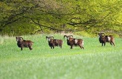Mâles de Mouflon sur le pâturage Photographie stock libre de droits