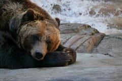 Müder Grizzlybär legt sich auf Felsen hin stockfotografie