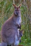 Mãe alerta do canguru com joey do bebê foto de stock royalty free