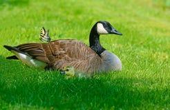 Mãe, bebês, e borboleta do ganso de Canadá Fotografia de Stock