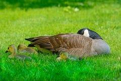 Mãe, bebês, e borboleta do ganso de Canadá Imagens de Stock