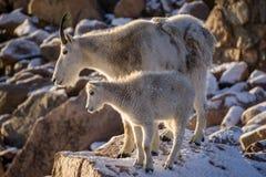 Mãe da cabra de montanha Imagens de Stock