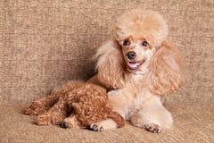 Mãe da caniche com cachorrinho do sono foto de stock royalty free