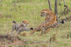 Mãe da chita & luta de Cub, Masai Mara, Kenya foto de stock
