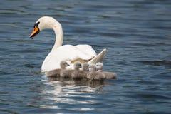 Mãe da cisne com suas crianças fotos de stock royalty free