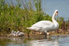 Mãe da cisne com suas crianças imagem de stock